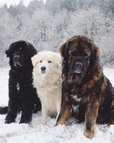 """Develops your Dog's """"Hidden Intelligence"""" To eliminate bad behavior and Create the obedient, well-behaved pet of your dreams. Pyrenees Puppies, Great Pyrenees Puppy, Cute Dogs And Puppies, I Love Dogs, Doggies, Cute Big Dogs, Puppies Puppies, Shiba Inu, Best Farm Dogs"""