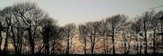 A shelter belt of trees silhouetted against a winter's sky at dusk here on the north Devon & Cornwall border, UK. Photo by & copyright Richard Brookes.    (FAA watermark not on purchased items)