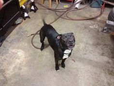 #FOUNDDOG 2-17-14 #HUBERHEIGHTS #OH BLACK & WHITE  #PITBULL MIX 2-3 YEARS OLD ROITE 4 & TAYLORSVILLE RD VERY FRIENDLY 937-609-8287 https://www.facebook.com/homeagainohiopet/posts/673753045996506:0