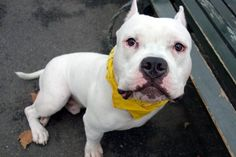 Super Urgent Manhattan - MAX - #A1090471 - **RETURNED 10/03/16** - NEUTERED MALE WHITE/BLACK AM PIT BULL TER, 11 MOS - OWNER SUR - AVAILABLE, HOLD RELEASED Reason PET HEALTH - Intake 10/03/16 Due Out 10/03/16