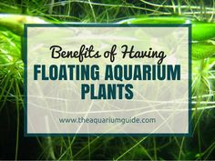 Floating aquarium plants are an amazing feature to have in any tank. Today I'm going to share some of the benefits of having such plants in your aquarium. Aquarium Gravel, Diy Aquarium, Planted Aquarium, Aquarium Ideas, Betta Fish Tank, Fish Tanks, Freshwater Aquarium Plants, Amazing Aquariums, Reptile Room