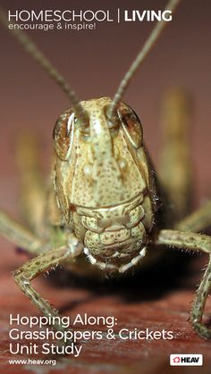 A unit study that takes a closer look at grasshoppers and crickets is the perfect fit for laid-back summer homeschooling. Check out those summer insects that produce the summer soundtrack of buzzing, trilling, and chirping. Stars And Solar System, Bug Activities, Grasshoppers, Crickets, Study Ideas, Unit Studies, Nature Study, Science Experiments, Nonfiction Books