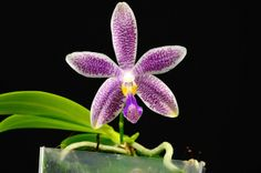 Phalaenopsis 'Georgie Girl' - Flickr - Photo Sharing!