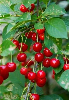 Country Red and Green / Cherries Fruit Plants, Fruit Garden, Fruit Trees, Fruit And Veg, Fruits And Vegetables, Fresh Fruit, Cherry Farm, Cherry Cherry, Cherry Tree