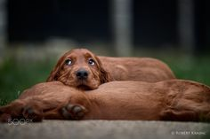 La vita e bella! - Comfy Irish Setter puppy