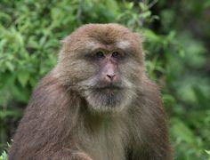 Tibetan Macaque | tibetan macaque