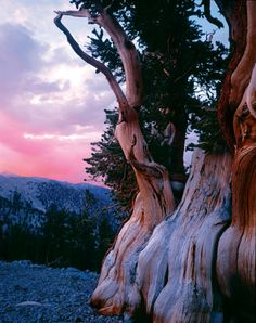 Photo of bristlecone pine (Pinus aristata) by © ED CAllaert/larry ulrich stock photography Fruit Bearing Trees, Bristlecone Pine, Magical Tree, Tree Rings, Old Trees, Nature Tree, Tree Art, Science And Nature, Forests