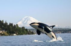 Washington State, Orca Whale on Puget Sound