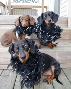 """you had us at """"CHEESE"""" #dachshundoftheday #dachshundsofinstagram #dachstagram #dogsofinstagram #wienerdogsofinstagram #wienerdogs #sausagedogsofinstagram #sausagedogcentral #doxiesofig #pawesomedachshunds #dogstagram #saycheese Dachshund Humor, Baby Dachshund, Weenie Dogs, Doggies, Dogs And Puppies, Animals And Pets, Cute Animals, Sausage Dogs, Special Pictures"""