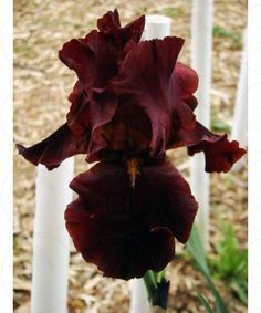 This would also be a nice addition. Bearded Iris 'Red At Night' - iris4u.com
