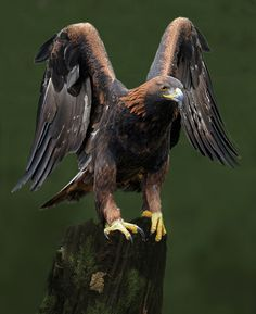 Golden eagle by Ronald Coulter on 500px: