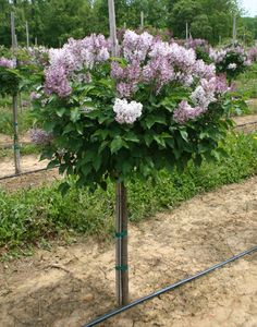 Little Miss Kim Lilac - Small lilac bush grafted onto small tree trunk. Lovely focal point and highly fragrant.