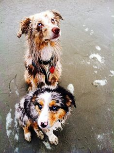Finley, 7 month old Red Merle Mini Aussie with Maybelline, 3 month old Blue…