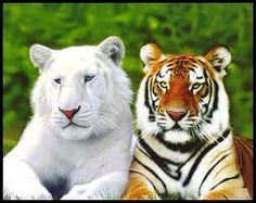 animales en peligro de extincion Este tigre es una bendición, tantos animales y los estamos acabando