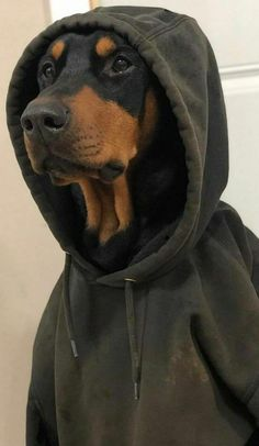 Perro Doberman Pinscher, Doberman Dogs, Dobermans, Cute Funny Animals, Cute Baby Animals, Animals And Pets, Beautiful Dogs, Animals Beautiful, Black Doberman
