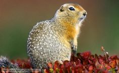 Arctic ground squirrels shelter in shallow burrows on the tundra, usually inhabiting areas where the permafrost does not prevent digging. To survive the harsh arctic winters, they hibernate for seven months of the year, during which time their body temperature can sink below freezing.