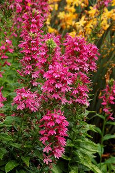 """Lobelia Monet Moment   Cardinal Flower   Height: Tall 36"""" / Plant 18"""" apart   Bloom Time: Summer to Fall   Sun-Shade: Full Sun to Mostly Sunny   Zones: 4-9     Soil Condition: Normal   Flower Color / Accent: Pink / Pink"""