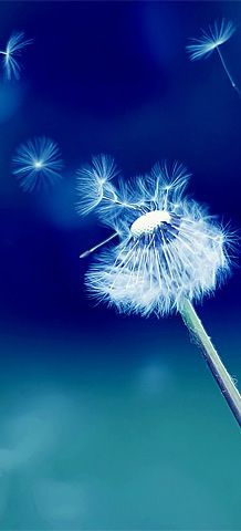 Blowing the seeds off a dandelion clock.