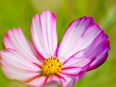 """TOP FEEL-GOOD OILS…Just seeing beautiful flowers instantly make us feel better and the sweet scent of their pure #essential oils can brighten any #mood. Whether in the car, office or at home, create your own """"happy space"""" with their uplifting fragrance. Geranium, Palma Rosa, and Ylang-Ylang are great oils to add to a diffuser or as a natural air freshener spray."""