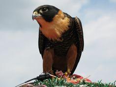 Bat Falcon - Falco rufigularis