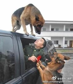 Had to Share...Mans VERY best friend...Basically the gentlemen there has been training these police dogs for many years and when he retired that day and packed his luggage to the truck the dogs were biting the luggage and trying to hold him back, when he finally got into the truck and they started driving away one of the dogs ran and jumped up on top of the truck where they stopped, everyone was crying, and they took this pic :(