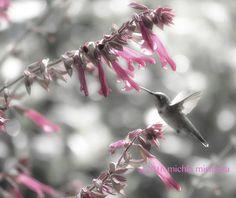 hummingbird picture hummingbird print by MicheleMPhotography
