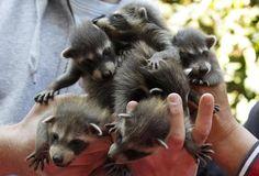Handful of racoons