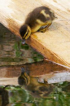 SEASONAL – SPRING – the warmer temperatures of springtime bring out the new born animals to discover and explore their surroundings like this duckling and their reflection.
