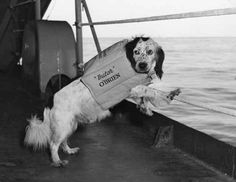 This life-jacket wearing spaniel is Butch O'Brien, a spaniel mascot of the US navy, on board his ship in the Sea of Japan. (Circa 1944)