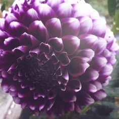 oh i love these!! i think these are dahlias. this purple is perfect too for my bouquet!