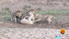 Hungry lions bring down a buffalo cow, but things change when a rival lioness gets involved! Big Cats, Animal Kingdom, Tigers, Buffalo, Bears, Cow, Wildlife, Survival, Africa