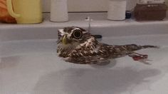 Little Owl's Rubber Ducky Impression Is Too Cute For Words