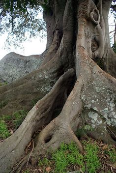 Moreton Bay Fig by TarsierMan, via Flickr