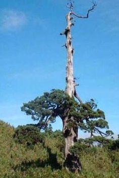 literati bonsai - Google Search