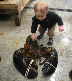 A child inspects Rocky, a 40-inch-long, 27-pound lobster that was landed off the coast of Maine by shrimp fisherman Robert Malone. The giant crustacean was given a temporary home at Maine State Aquarium in West Boothbay Harbor before being released back into the Atlantic Ocean. Staff dubbed the lobster Rocky as it was caught in the Rockland coastal area, although Aquarium Director Aimee Hayden-Rodriques said the name could have been because its claws would pack a punch. The largest lobster…