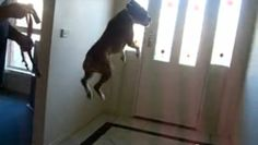 Excited boxer loves to go for walks (VIDEO)