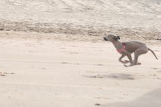 Practising bulletspeed at the beach #whippet #pup
