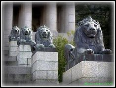 Four of the eight bronze lions looking out over Cape Town from the Rhodes Memorial. Built in honour of Cecil John Rhodes, the memorial is situated on the slopes of Devil's Peak