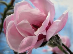 """Magnolia in Spring"" Captured in Nelson, New Zealand."