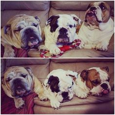 British bulldog 1, 2, 3!