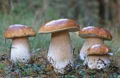 10. boletus edulis, 24-9-2010,orihuela by carlespoveda, via Flickr