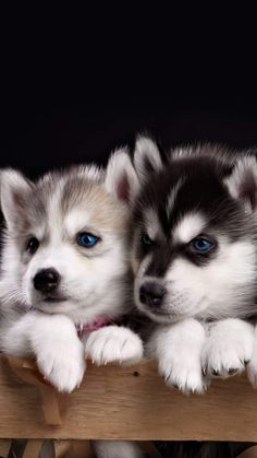 The many things I respect about the Athletic Siberian Husky Puppy - Too cute baby animals - Cute Husky Puppies, Cute Animals Puppies, Super Cute Puppies, Baby Animals Super Cute, Cute Baby Dogs, Cute Little Puppies, Husky Puppy, Cute Little Animals, Cute Funny Animals