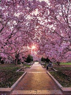 Cherry Blossom walk at Haupt Garden, Washington, USA