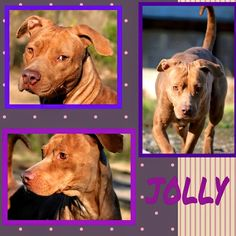 Jolly is about 3-4 years of age. She is a very sweet and loving girl who gets along with most dogs. Email us at allaboutanimalsmacon@yahoo.com or call us at 478-621-5116 if you would love to give this gal a home.
