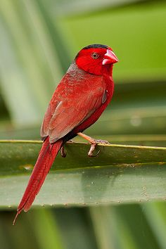 crimson finch  (photo by nolan caldwell)