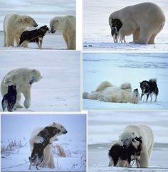 Ce chien est attaché pour leur servir de repas, après que les ours se seront lassé de jouer avec leur proie, contrairement à ce que l'on pourrait penser