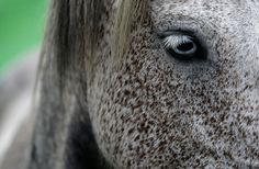 Sabucedo, Spain: A wild horse during the Rapa das Bestas event when hundreds of wild horses are rounded up, trimmed and groomed in villages in the north-western region of Galicia    Photograph: Miguel Vidal/Reuters