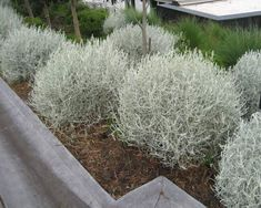Calocephalus brownii shrubs are very tough and attractive perennials native to Australia. Calocephalus brownii shrubs are also known as silver bush or cushion bush. Dry Garden, Garden Shrubs, Garden Beds, Garden Landscaping, Australian Native Garden, Australian Plants, Australian Garden Design, Seaside Garden, Coastal Gardens