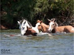 Champ the head stallion of the salt river wild horse herd in the Tonto National Forest saves a filly from drowning in the river.