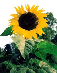 How to Grow Giant Sunflower Plants, Giant Sunflower Seeds
